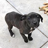 Adopt A Pet :: Jazzy - Dana Point, CA