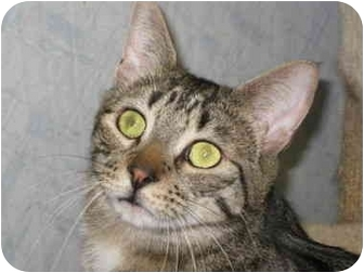 Domestic Shorthair Cat for adoption in Bloomsburg, Pennsylvania - Little Dickens
