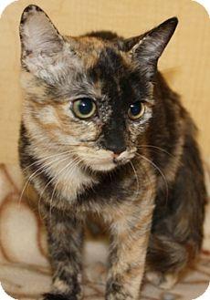 Domestic Shorthair Kitten for adoption in North Highlands, California - Easta