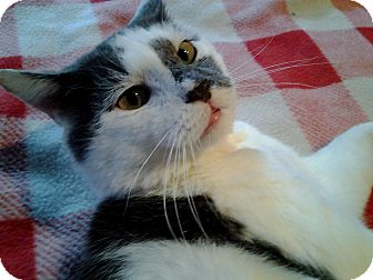 Domestic Shorthair Cat for adoption in Little Falls, New Jersey - Bradley (JT)