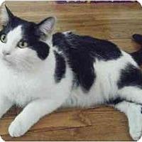 Adopt A Pet :: Angelo - Kensington, MD