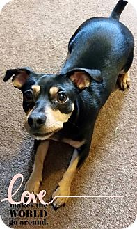 Chihuahua/Dachshund Mix Dog for adoption in Barriere, British Columbia - Zena
