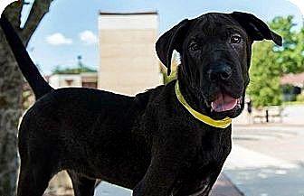 Labrador Retriever/Shar Pei Mix Dog for adoption in Long Beach, California - Lincoln