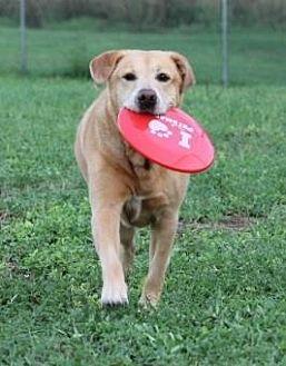 Labrador Retriever Mix Dog for adoption in Loxahatchee, Florida - Pickles