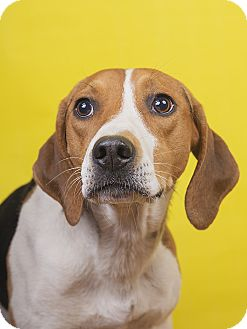 Beagle/Coonhound Mix Dog for adoption in Lyndhurst, New Jersey - Chris
