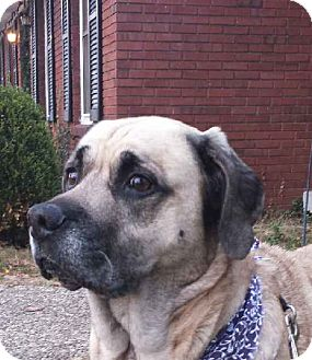 Mastiff Mix Dog for adoption in LaGrange, Kentucky - Mona
