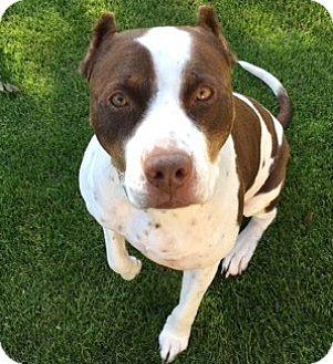 American Bulldog/Pointer Mix Dog for adoption in Burbank, California - Sweet Einstein-URGENT