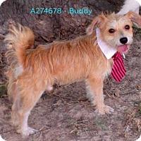 Adopt A Pet :: BUDDY - Conroe, TX
