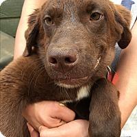 Adopt A Pet :: Bam Bam - Flintstone Litter - Acworth, GA