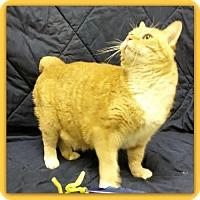 Adopt A Pet :: Bobbi Biscuit 27152 - Pampa, TX