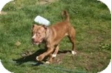 American Pit Bull Terrier Dog for adoption in Vancouver, British Columbia - Hope