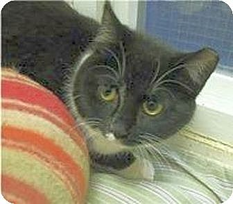 Domestic Shorthair Cat for adoption in Huntington, New York - Frazzle
