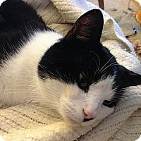 Domestic Shorthair Cat for adoption in New York, New York - Pedro