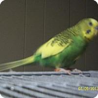 Adopt A Pet :: Nipper - Lenexa, KS
