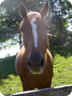 Thoroughbred Mix for adoption in Saugerties, New York - Hazlenut