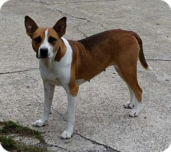 Cattle Dog Mix Dog for adoption in E. Greenwhich, Rhode Island - GB_Karma