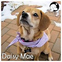 Adopt A Pet :: Daisy Mae - Pittsburgh, PA