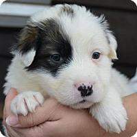 Adopt A Pet :: Pokey - Danbury, CT