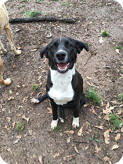 Labrador Retriever/Retriever (Unknown Type) Mix Dog for adoption in Glastonbury, Connecticut - Lana~ meet me!