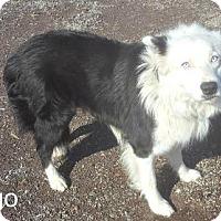 Adopt A Pet :: Ringo - Yreka, CA