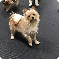 Adopt A Pet :: Scruffy - SHELBY TWP, MI