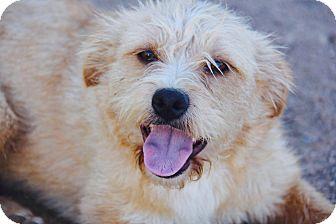 Border Terrier/Irish Terrier Mix Dog for adoption in Phoenix, Arizona - Tabby
