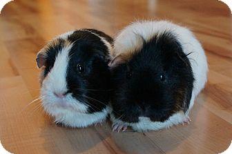 Guinea Pig for adoption in Brooklyn Park, Minnesota - Sparkles