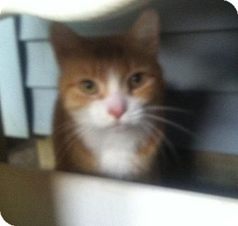 Domestic Shorthair Cat for adoption in Horsham, Pennsylvania - Jackie