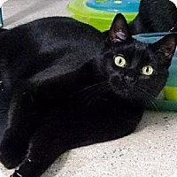 Domestic Shorthair Cat for adoption in Belleville, Michigan - Porsha