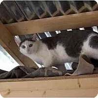 Domestic Mediumhair Cat for adoption in Winnsboro, South Carolina - Morgan