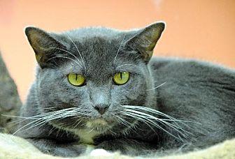Domestic Shorthair Cat for adoption in Atlanta, Georgia - David 8442