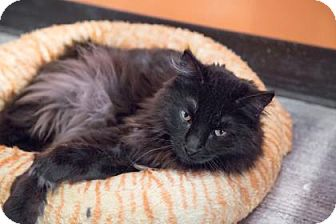 Domestic Longhair Cat for adoption in West Des Moines, Iowa - Coco