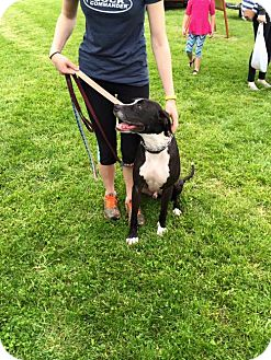 Terrier (Unknown Type, Medium)/Great Dane Mix Dog for adoption in Middletown, Ohio - Rufus
