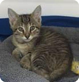 Domestic Shorthair Kitten for adoption in Fairfax, Virginia - Aiden