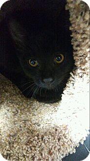 Domestic Shorthair Kitten for adoption in Miami Shores, Florida - Thumbelina