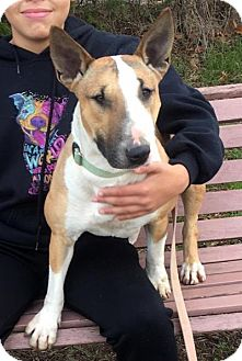 Bull Terrier Dog for adoption in Quinlan, Texas - Hope