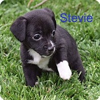 Adopt A Pet :: Stevie - Concord, CA