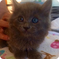 Adopt A Pet :: Maddox - Los Angeles, CA