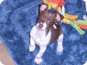 """Jack Russell Terrier Mix Puppy for adoption in New Castle, Pennsylvania - """" Toby """""""