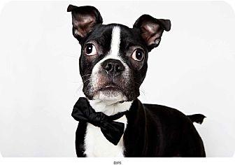Boston Terrier Puppy for adoption in New York, New York - Elvis