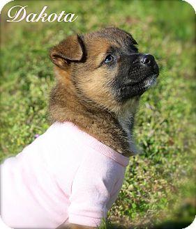 German Shepherd Dog/Labrador Retriever Mix Puppy for adoption in Wilmington, Delaware - Dakota