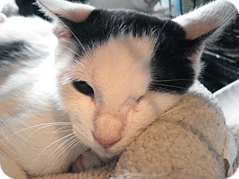 Domestic Shorthair Cat for adoption in Brooklyn, New York - Orion