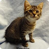 Adopt A Pet :: Brutus - Bentonville, AR