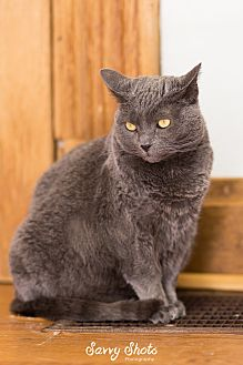 Domestic Shorthair Cat for adoption in Greensburg, Pennsylvania - Laurel