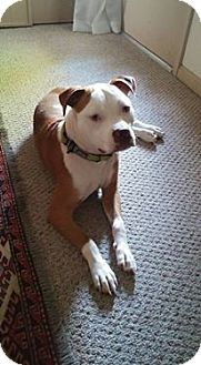 American Staffordshire Terrier Mix Dog for adoption in LaGrange, Kentucky - Sammy