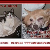 Chihuahua Dog for adoption in Virginia Beach, Virginia - Nina