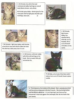 Domestic Shorthair Kitten for adoption in Halifax, Nova Scotia - Kittens