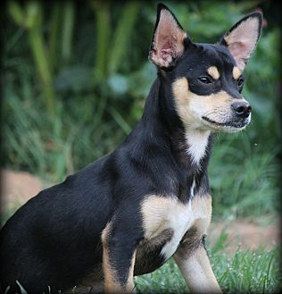Chihuahua Puppy for adoption in Greenville, South Carolina - Archie