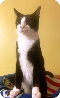 Domestic Shorthair Cat for adoption in Metairie, Louisiana - Marty - Handsome Regal Tuxedo