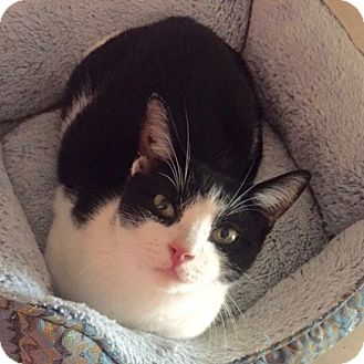 Domestic Shorthair Cat for adoption in Long Beach, New York - Loki